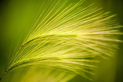 Tufts Of Ornamental Grass Poster