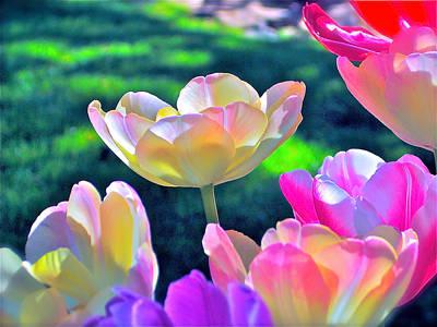 Tulip 21 Poster by Pamela Cooper