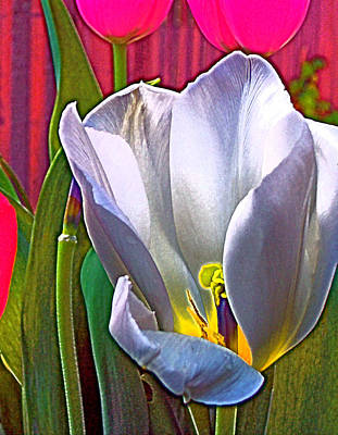 Tulip 34 Poster by Pamela Cooper
