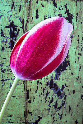 Tulip Against Green Wall Poster by Garry Gay