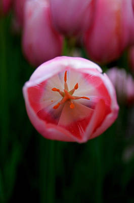 Poster featuring the photograph Tulip Beauty  by Haleh Mahbod