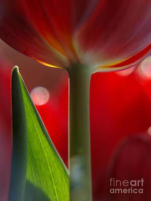 Tulip Bokeh Poster by Trena Mara