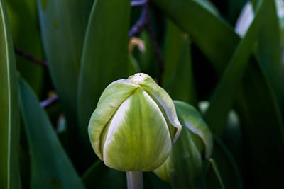 Tulip Bud Poster