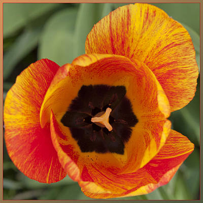 Poster featuring the photograph Tulip Design by Terri Harper