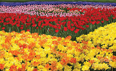 Poster featuring the digital art Tulip Field by Tim Gilliland