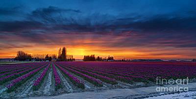Tulip Fields Dusk Skies Poster