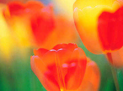 Tulip Flowers Poster by Panoramic Images