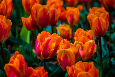 Tulip Glow Poster