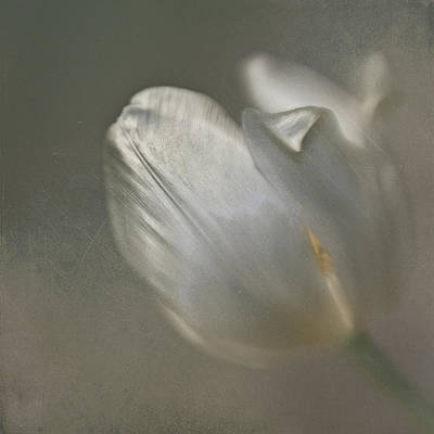 Poster featuring the photograph Tulip I by Kevin Bergen