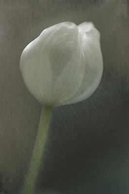 Poster featuring the photograph Tulip II by Kevin Bergen