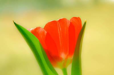 Tulip  Poster by Menachem Ganon