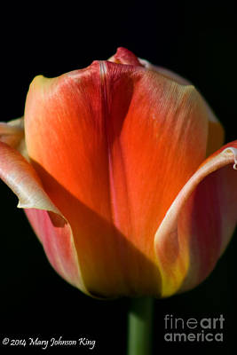 Tulip On Black Poster by Mary  King