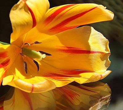Tulip Reflections Poster