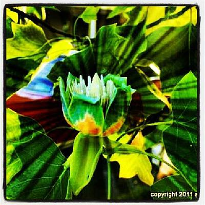 Tulip Tree Poster