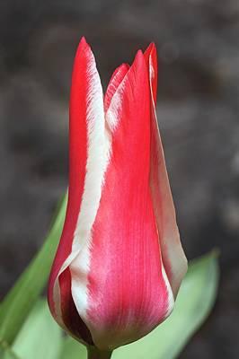 Tulipa Greigii 'pinocchio' Poster by Ann Pickford