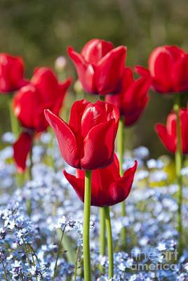 Tulipa 'ile De France' And Myosotis Sp Poster by Carol Casselden