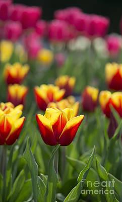 Tulipa Reputation Poster by Tim Gainey