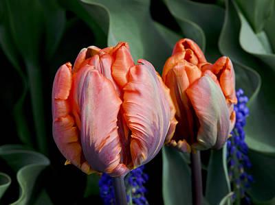Irene Parrot Tulips Poster