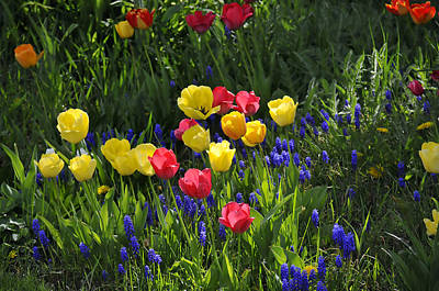 Tulips And Grape Hyacinths Poster