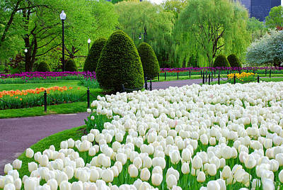 Tulips Boston Public Gardens  Poster by Michael Hubley