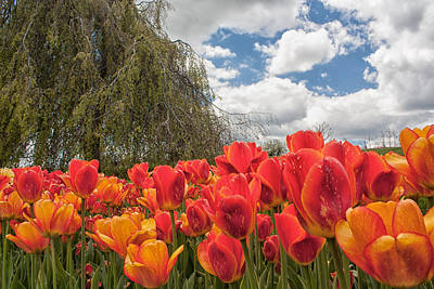 Tulips Poster by Brian Caldwell