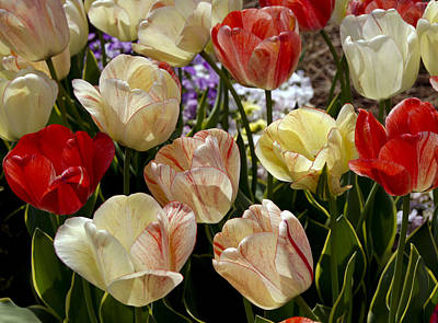 Poster featuring the photograph Tulips by Debra Crank