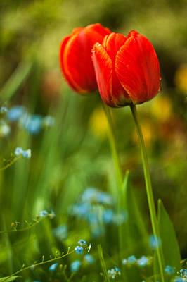 Tulips In Garden Poster