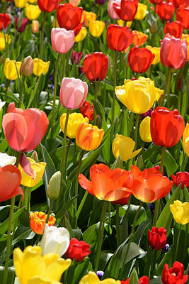 Tulips In The Garden Poster