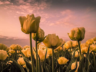 Tulips On A Pink Sky Poster