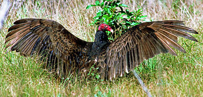 Turkey Vulture Cathartes Aura Poster
