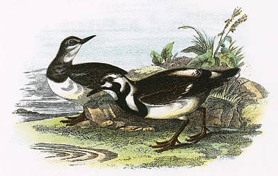 Turnstone Poster by English School