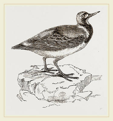 Turnstone Poster by Litz Collection