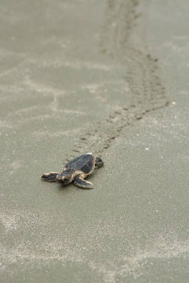 Poster featuring the photograph Turtle Tracks by Patricia Schaefer