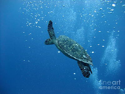 Turtle With Divers' Bubbles Poster by Alan Clifford