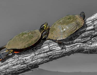Turtles At Swan Park Poster