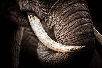 Poster featuring the photograph Tusks And Trunk by Mike Gaudaur