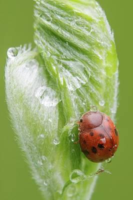 Twentyfour-spot Ladybird Poster by Heath Mcdonald