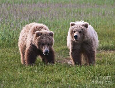 Twin Bear Cubs Poster
