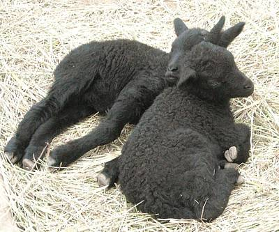 Twin Black Lambs Poster by Cathy Long
