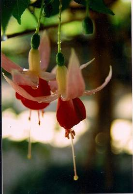 Twin Fuchsias Poster by Robert Bray