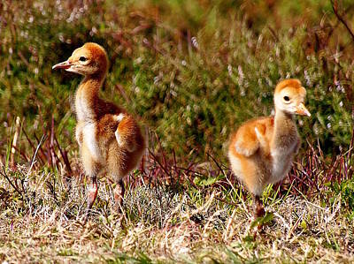 Poster featuring the photograph Twin Sandhill Chicks 000  by Chris Mercer