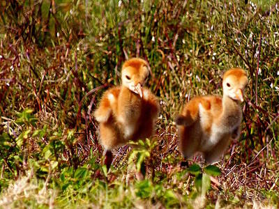 Poster featuring the photograph Twin Sandhill Chicks by Chris Mercer