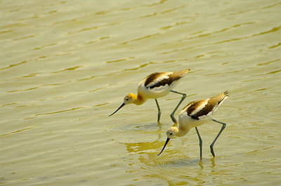 Two Avocets Having A Drink Poster