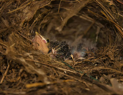 Two Baby Sparrows In A Nest Poster