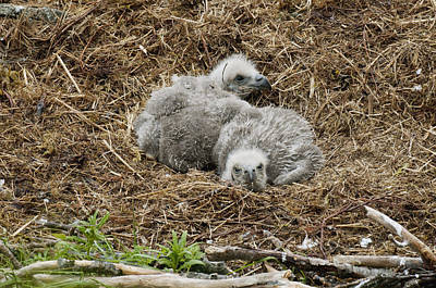 Two Bald Eagle Chicks Resting In Their Poster