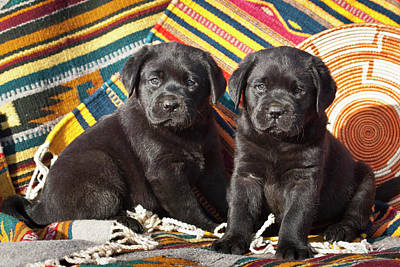 Two Black Labrador Retriever Puppies Poster