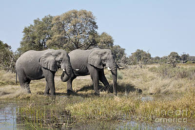 Poster featuring the photograph Two Bull African Elephants - Okavango Delta by Liz Leyden