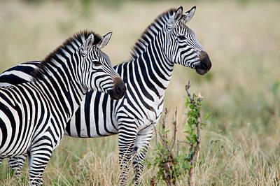 Two Burchells Zebras Equus Burchelli Poster