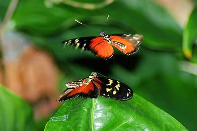 Two Butterflies  Poster by Jeff Swan