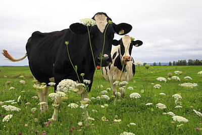 Two Cows In A Field Poster